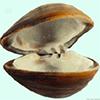 clam-shark