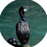 Cormorant Chicks Raised
