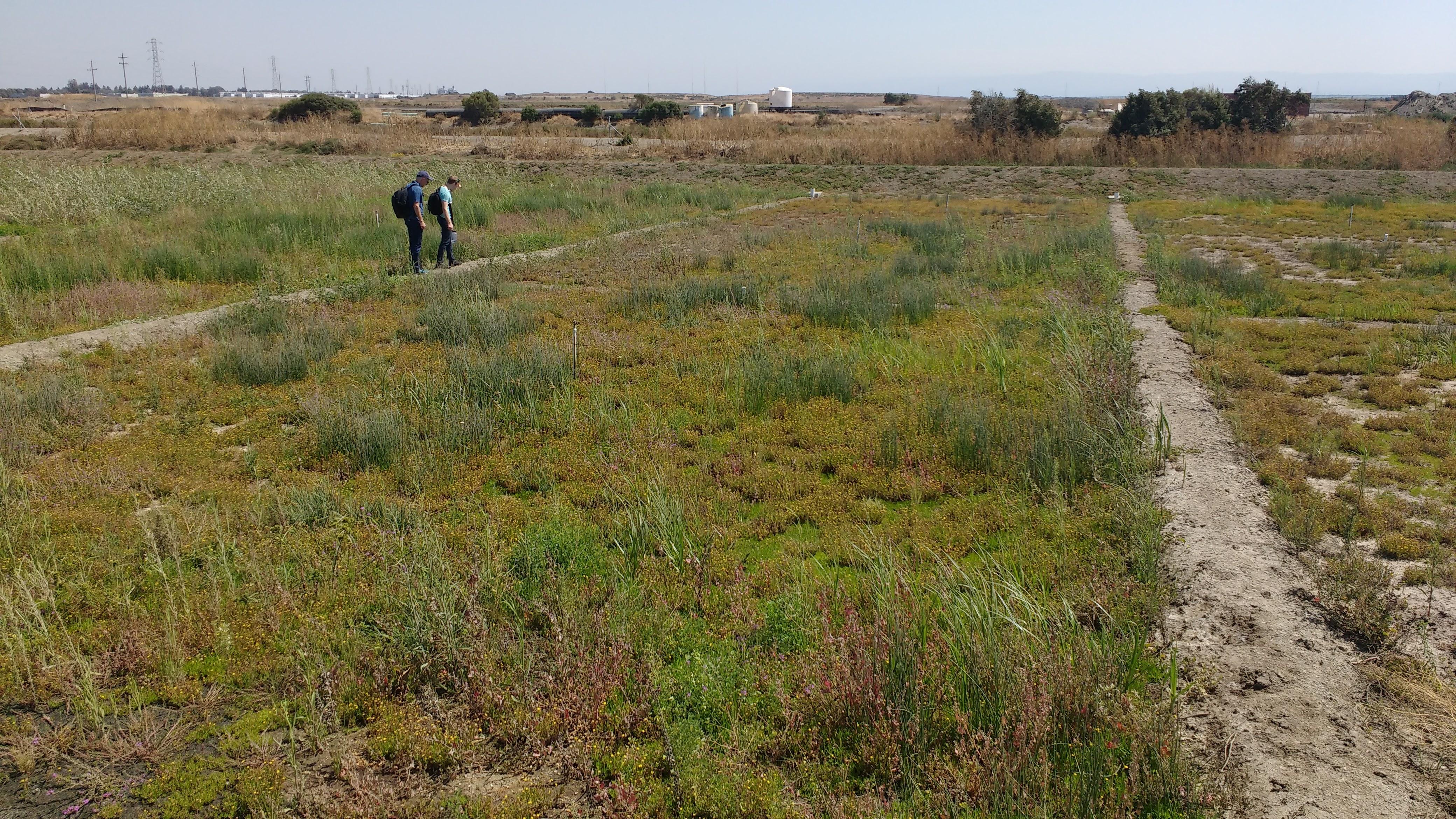 oro loma HL in the field