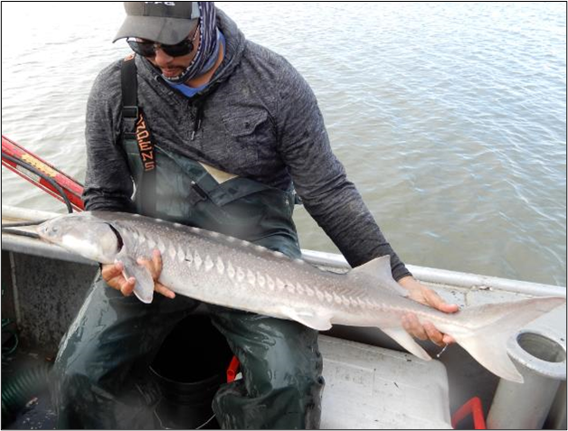 Above: Lewis holding white sturgeon in Delta. Photo: Jim Ervin