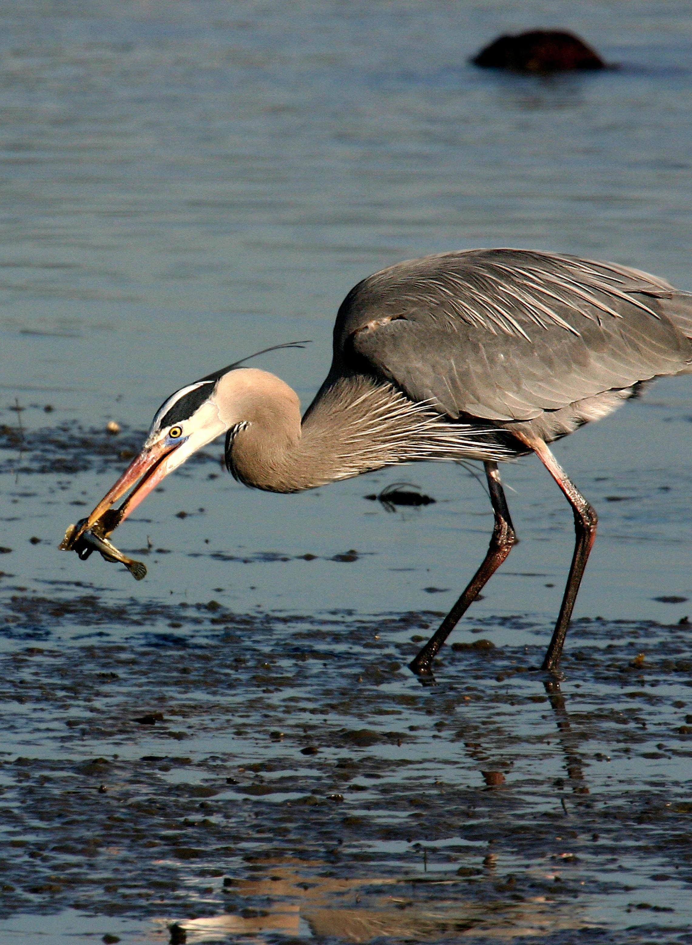 Rick Lewis Picture - heron eating in wetland